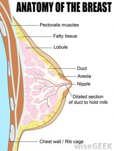 anatomy-of-the-breast-diagram